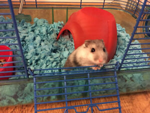 Dwarf hamster plus lots of accessories and cages
