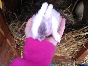 7 week old baby bunnies for sale