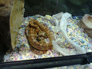 Corn snake Save $15 .00 for mothers day
