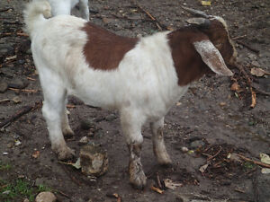 Boer billy goats and doelings