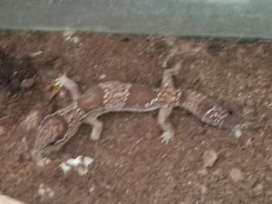 Male fat tail gecko for sale