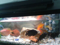 AQUARIUM WITH CICHLIDS FISH FOR SALE