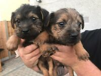 Yorkie x border terrier puppies