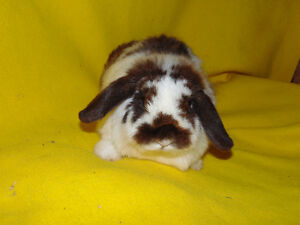 Holland Lop Female rabbit - special needs London Ontario image 1