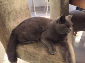 Blue Female British Shorthair