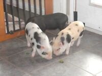 Come view our Mini Pigs for Sale (On PEI)