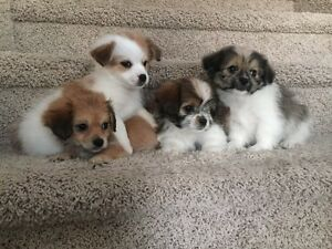 Absolutely Adorable Bichonx Puppies!!!