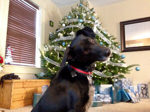 Dog lost in Orono - black lab/border collie