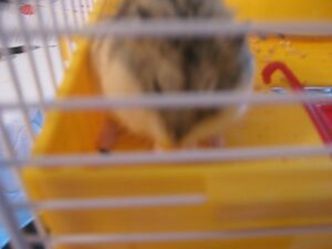 dwarf gerbil and cage with accerssories