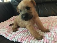 Soft coated wheaten terrier pups for sale