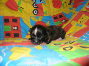 Chihuahua PUPPIES $650.00 + Adult Chihuahua Male UnAltered $400