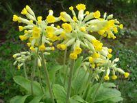 cowslip primula veris plants yellow flowers perennial