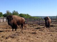 Buffalo Heifers for Sale!!