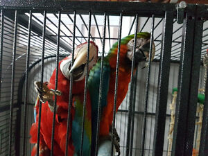 RED AND GREEN MACAW BEAUTIFUL BREEDING PAIR