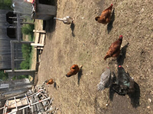 Chickens ( heritage breeds and hybrids)