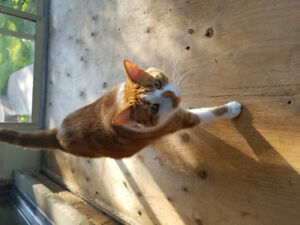 Orange tabby cat free to good home nurtured and declawed