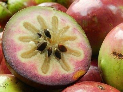 Star Apple Fruit 20 Viable Seeds Exotic Garden Trees Chrysophyllum cainito Sweet ()