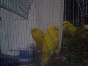 budgies for sale $100 for all or 25 each