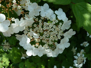 High Bush Cranberry and NannyBerry Trees