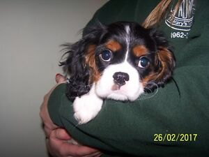 Cavalier King Charles Spaniel Ready For Home