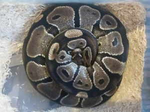 big female ball python het for a bunch of things ready to breed