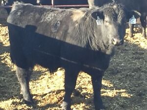 Yearling Black Angus Bulls