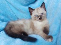 Ragdoll Kittens only 2 left