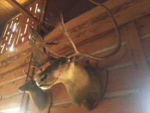 Caribou and Deer Head for Sale