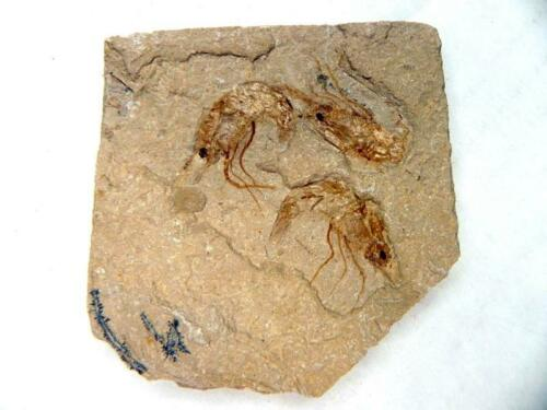 Fossil Lebanese Shrimp Cretaceous Dinosaur Age on Matrix