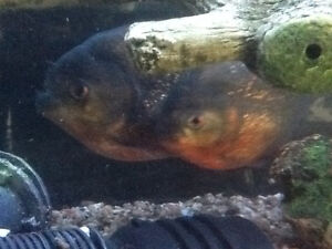 125 gallon fish tank with 4 red belly piranha's - complete Windsor Region Ontario image 5