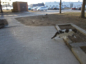 2 WHITE & BLACK KITTEN or SMALL CATS Found Windsor Region Ontario image 4