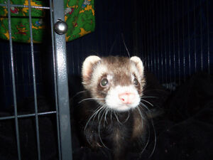 One Male Ferret + Ferret Nation Cage + Accessories