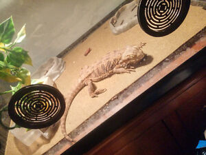 free sick 4 year old bearded dragon needs loving owners and vet Kitchener / Waterloo Kitchener Area image 1