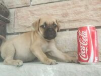 Pug Pups Black or Fawn 10-15lbs adult weight