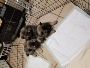 2 Male Keeshond Puppies for Sale * 1 has sold