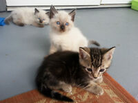 Kittens for sale (siamese chocolat point, mix)
