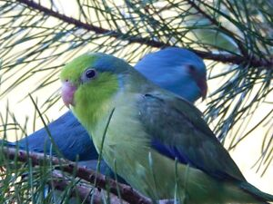 Lovebirds, Cockatiels, Finches, Budgies, and Parrotlets