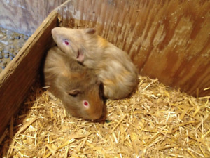4  FOUR  MONTH OLD GUINEA PIGS FOR SALE
