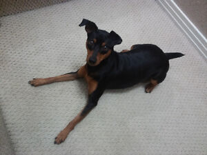Min Pin male puppy for sale