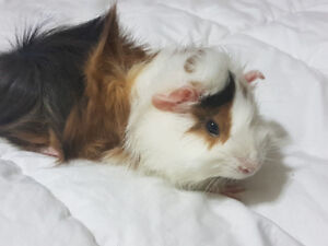 2 beautiful Gineau Pigs for sale