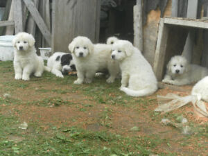 MALE PYRENESE PUPS