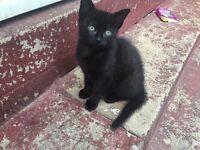 1x short haired girl kitten