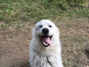 Great Pyrenees Looking For A New Home