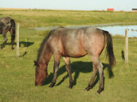 Bay Roan Yearling Filly
