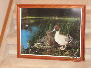 "Framed Print - by John Stone - ""Pintail Paradise"""