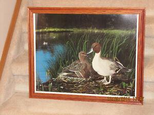 "Framed Print - by John Stone - ""Pintail Paradise"""