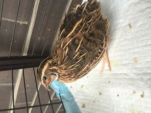 Male Coturnix Quail Looking for Home