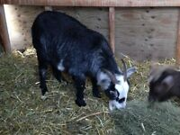 African Pygmy Wether for sale