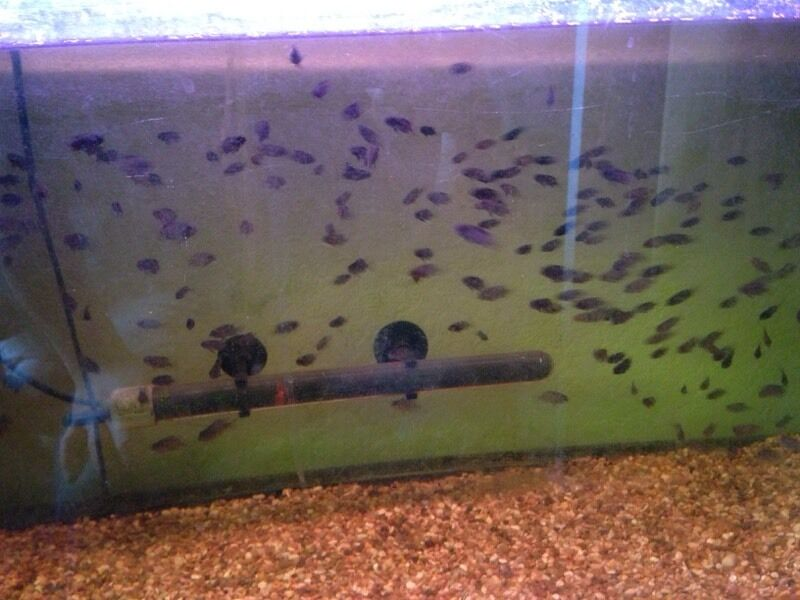 Convict Fish For Sale Baby Convict Fish For Sale