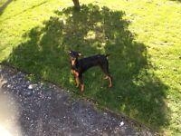 Doberman Puppy. 6 months old